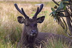 Sambar deer Royalty Free Stock Photography