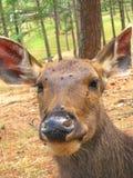 Sambar Deer - Close up Royalty Free Stock Photo