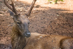 Sambar Deer. Close up of Sambar Deer Stock Images