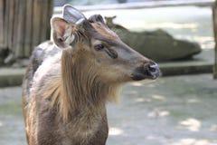 Sambar deer 1 Stock Image