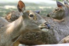 Sambar deer 2 Royalty Free Stock Photography
