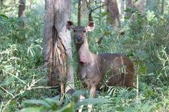 Sambar deer closeup Stock Photos