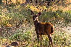 Sambar Deer Cub staring Stock Photo