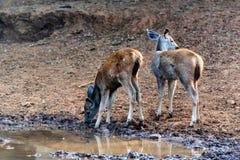 Sambar deer cubs drink from river. Sambar deer or Rusa unicolor cubs drink from river Stock Image