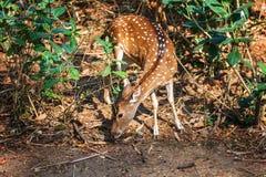 Sambar Deer eating in in Trivandrum, Thiruvananthapuram Zoo Kerala India. Sambar Deer eating walking in in Trivandrum, Thiruvananthapuram Zoo Kerala India Royalty Free Stock Images