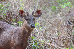 Sambar deer face Stock Photos