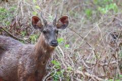 Sambar deer face Stock Photos