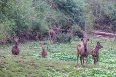 Sambar deer family Stock Photo