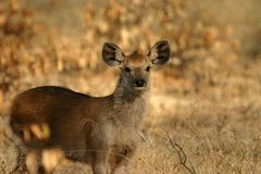 Sambar deer fawn Royalty Free Stock Photos