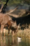 Sambar deer fawn in water Stock Photo
