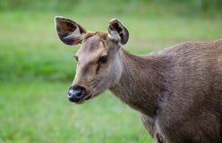 Sambar deer Royalty Free Stock Photo