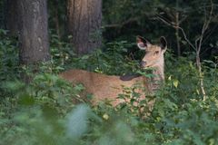 Sambar Deer in the Forest Stock Photos