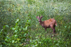 Sambar deer in forest at Khao Yai national park Royalty Free Stock Images