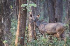 Sambar deer in forest Stock Photo
