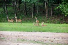 Sambar deer Royalty Free Stock Photography