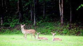 Sambar deer stock video footage