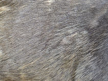 Sambar deer fur Royalty Free Stock Images