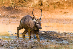 Sambar Deer in golden light. Young Male Sambar Deer playing in mud at Ranthambore Forest Stock Photos