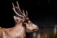 Sambar  deer is a habit rather aggressive. Vintage style under sun light stock photos