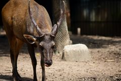 Sambar  deer is a habit rather aggressive. Vintage style under sun light stock images