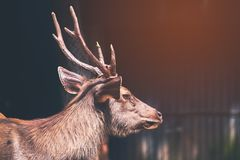 Sambar  deer is a habit rather aggressive. Vintage style under sun light stock photo