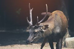 Sambar  deer is a habit rather aggressive. Vintage style under sun light royalty free stock image