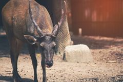 Sambar  deer is a habit rather aggressive. Vintage style under sun light royalty free stock photography