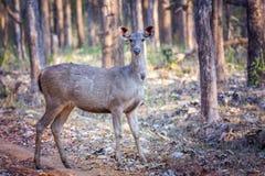Sambar deer with habitat Royalty Free Stock Image