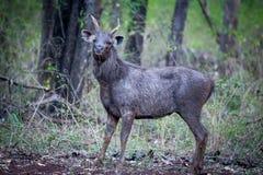 Sambar deer in habitat Stock Photos