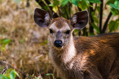 Sambar Deer headshot Stock Photos