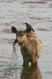 Sambar deer with heron Stock Photo