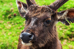 Sambar Deer. Horton Plains National Park. Sri Lanka Royalty Free Stock Photography