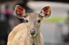 Sambar Deer in Khao Yai National Park Stock Photo