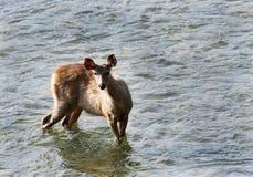 A Sambar deer Stock Photo