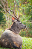 Sambar deer Royalty Free Stock Photos