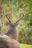 Sambar deer. Is a large deer native to the Indian subcontinent, southern China and Southeast Asia Stock Images