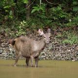 The sambar deer Royalty Free Stock Image