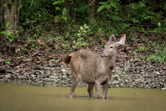 The sambar deer Stock Images
