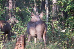 Sambar deer looking back Royalty Free Stock Photos