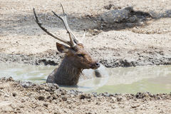 Sambar deer lying in mud pool use for wildlife in nature and zoo Royalty Free Stock Photography