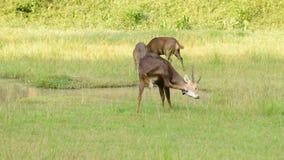 Sambar deer in the maedow. stock video
