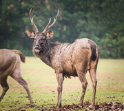 Sambar deer male. Male of the Sambar deer. Panorama Stock Images