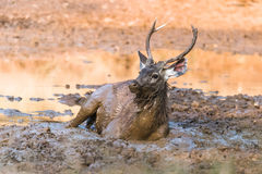 Sambar Deer. Male Sub-Adult Sambar Deer laying and enjoying in mud Stock Photo