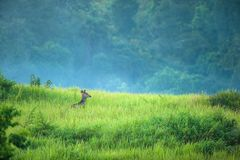 Sambar deer in the mist royalty free stock images
