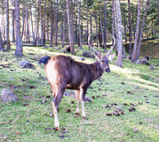 Sambar Deer at Motithang Takin Preserve, Thimphu, Bhutan. A Sambar Deer posing from his rear side at at Motithang Takin Preserve, Thimphu, Bhutan Royalty Free Stock Photo