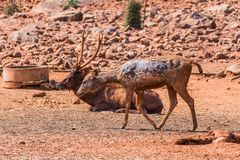 A Sambar Deer painted with mud & resting on field & a another kid deer walking in sunny day in zoo. Close view of Deer resting & walking  at field in sunny day Royalty Free Stock Images