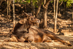 Sambar deer in the park at Tiger Temple, Thailand. Deer is resting in the park and enjoys sunlight Stock Photo