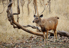 Sambar deer in Pench Tiger Reserve Royalty Free Stock Photo