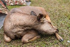 Sambar deer Stock Photography