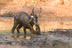Sambar Deer playing with mud Stock Photo